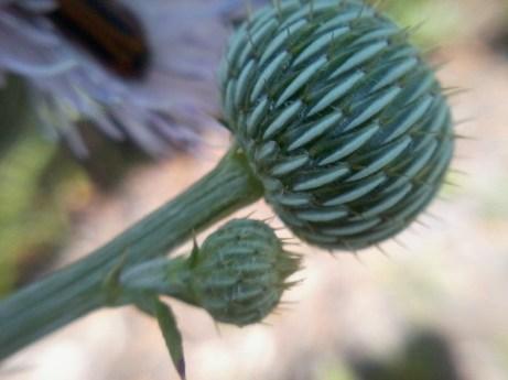 thistle bud (4)