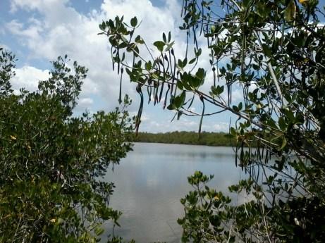 mangrove seeds (1)
