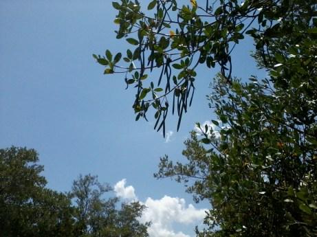 mangrove seeds (2)