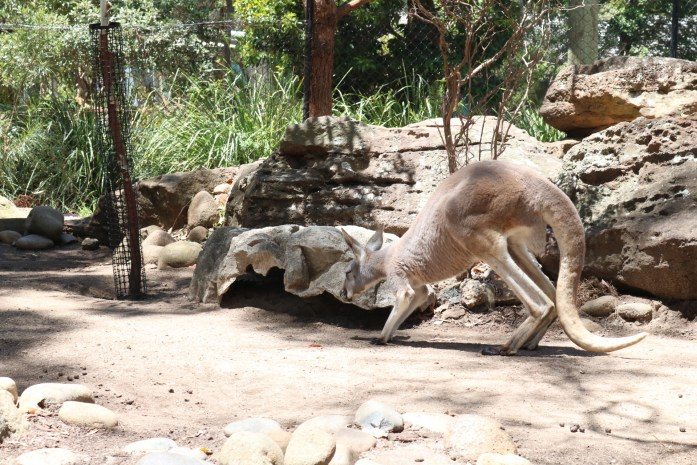 It is easy to confuse wallabies for kangaroos at Sydney's famous Taronga Zoo.