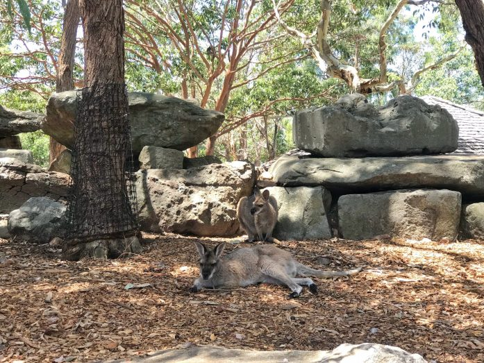 Don't confuse kangaroos with wallabies at Sydney's Taronga Zoo.