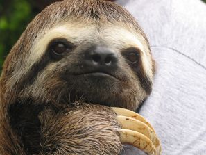 Sloth Doing Nothing