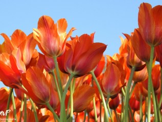 Dancing Fire Tulips