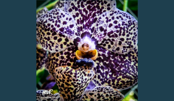 Photograph by MVPalmeri: Laughing Orchid