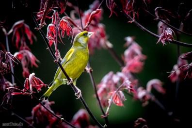 grünfink .:. 10. april 2019 .:. vögel in haus und garten