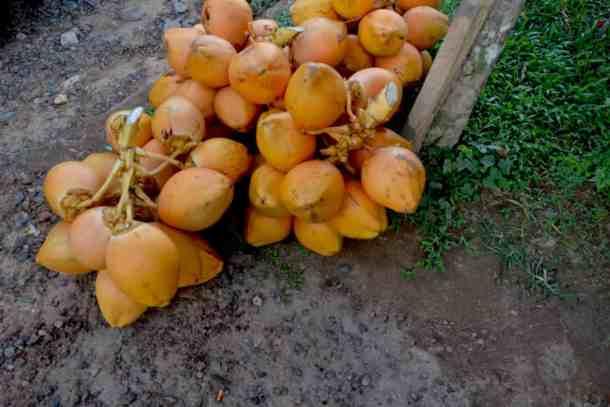 Coconut fruit Plantation Villa in Kalutara-Sri Lanka. maninio.com #resortsrilanka #villaresort