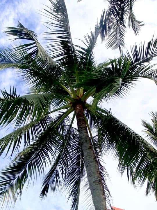 Camiguin Island, Philippines. Coconut tree. maninio.com #tourismphilippines #visitcamiguin