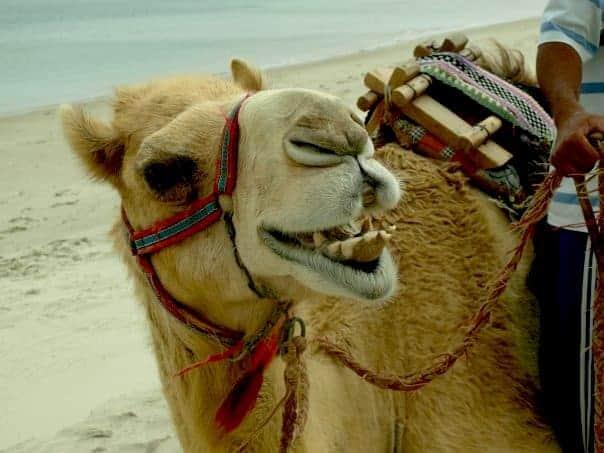 Qatar back 2006 - Camel Ride #Qatardohagames #asiangame2016  maninio.com
