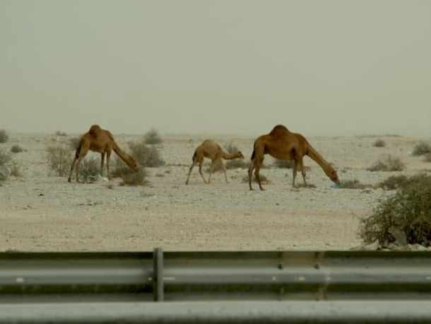 Camels in Qatar. maninio.com #qatardesert #Camelsinqatar