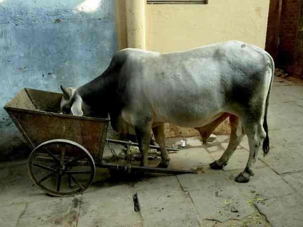 Varanasi in India, Cows are everywhere. maninio.com