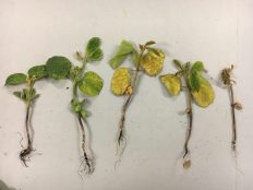 Soybeans at V1 showing symptoms of root rot on June 21.