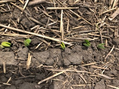 Soybeans at the VE stage on May 25 in the R.M. of Portage la Prairie. Seeded May 16. Photo: Stacy Pearson.