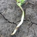Symptoms of seedling disease on a young soybean plant in southwest Manitoba (June 15).