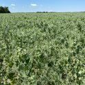 Field peas stressed from heat and lack of moisture, with drooping plant tips, on June 29 in the south Interlake region.