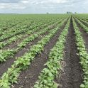Kidney beans with inter-row cultivation on July 9.