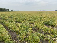 Pintos beans at the R8.5 stage near Carman on August 27.