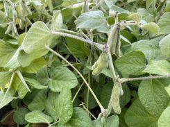 Soybeans at R6.5 near Portage la Prairie on August 27, 2021.