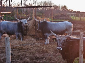 Three local cattle.