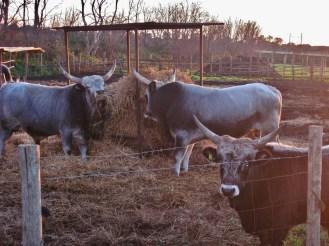 Three local cattle.