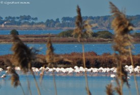 This is how far away they usually are, our pinkish flamingos on winter holiday.