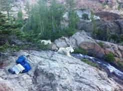 ingalls mountain goats