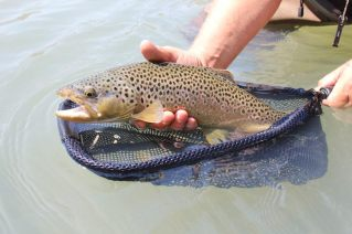 This image shows a brown trout held by a fly fisherman wearing Frogg Toggs Hellbenders.