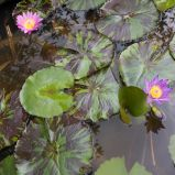 Pink and purple water lilies