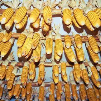 Sweet corn put up for drying, Loisium/ NÖ