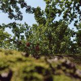 Rowan berries, Blockheide/ NÖ