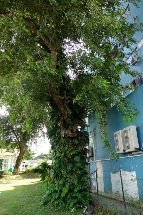 A huge tree enwind with Philodendron