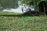 Monitor Lizard @ Chinese Garden Singapore