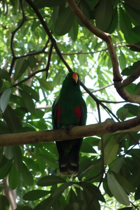 Eclectus Parrot (male, green)