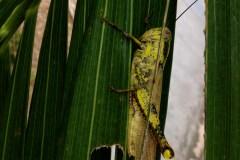 Obscure Birdwing Grasshopper @ Novena, Singapore