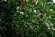 Plumeria Leaves