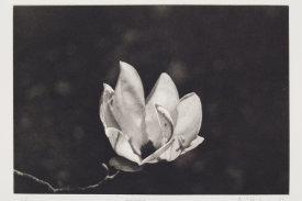 """Magnolia"", 1996. Photogravure, edition of 15. Image: 6"" x 8 ¾"", paper: 11"" x 14""."