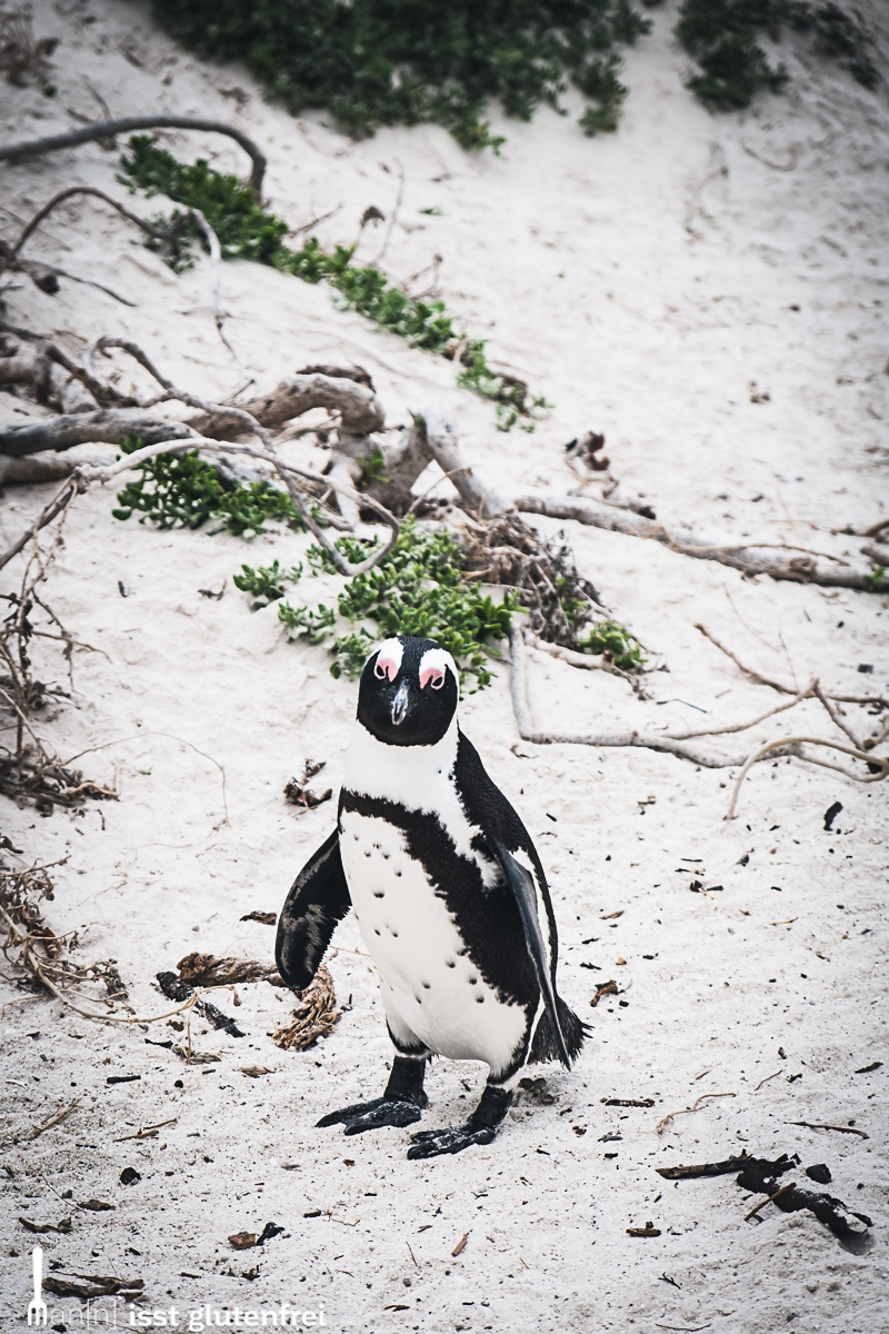 Boulders Beach Pinguin