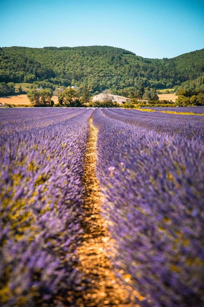 champs-lavande-drome-provençale-8