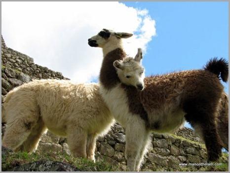 Travel Photo Roulette Round 32 Winner -- Llamas in Love at Machu Picchu Peru