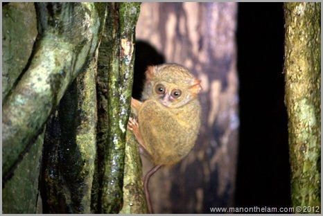 Tarsier, Tangkoko Nature Reserve near Manado, Indonesia -- things to do in Manado