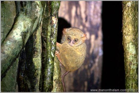 Tarsier, Tangkoko Nature Reserve near Manado, Indonesia -- things to do in Manado