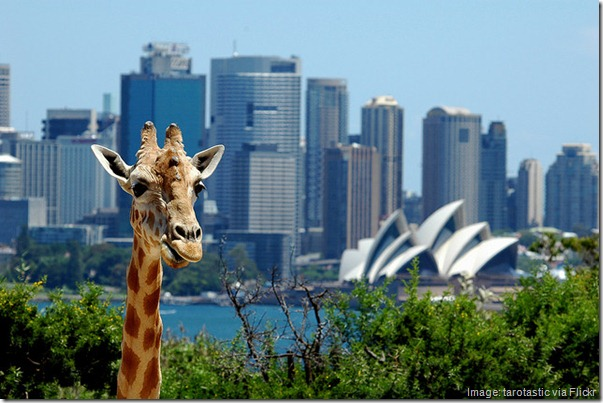 Giraffe at Taronga Zoo in front of Sydney Opera House