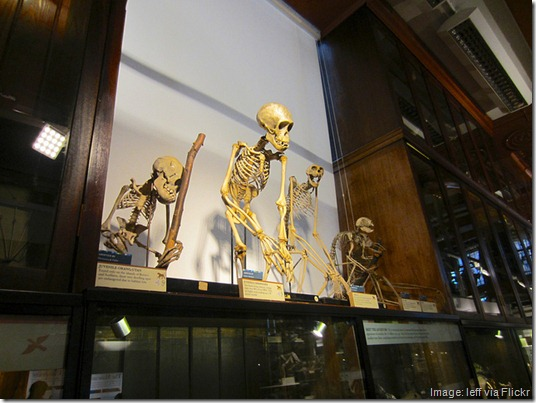 Grant Museum of Zoology, monkey skeletons