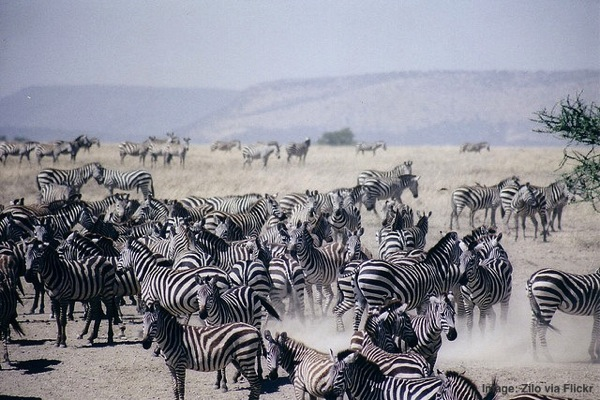 Zebras in Serengeti National Park Tanzania