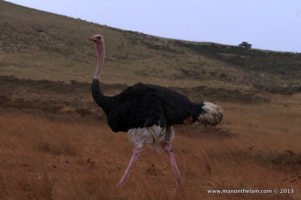 Ostrich in the Serengeti, Tanzania