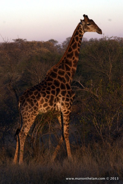 Giraffe at Nthambo Tree Camp South Africa 164