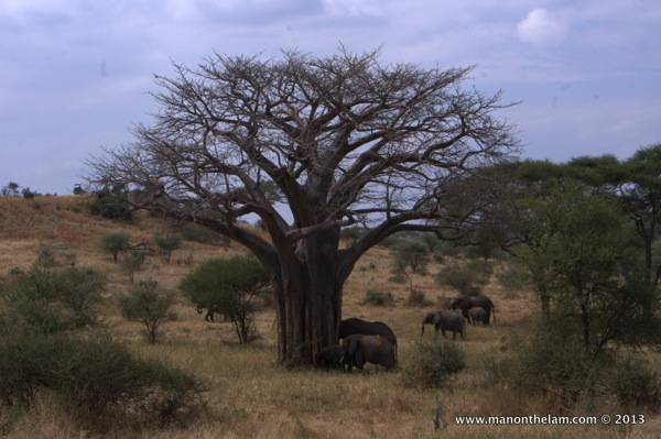 Herd of elephants -- Tarangire National Park, Tanzania