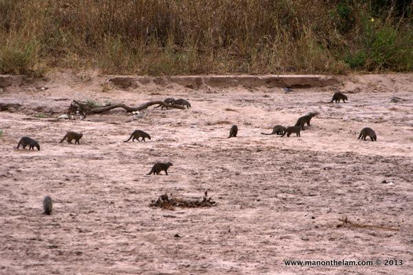Mongooses -- Tarangire National Park, Tanzania