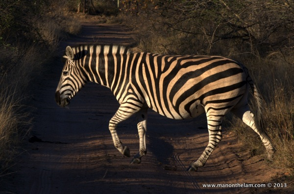 Zebra at Nthambo Tree Camp South Africa 183