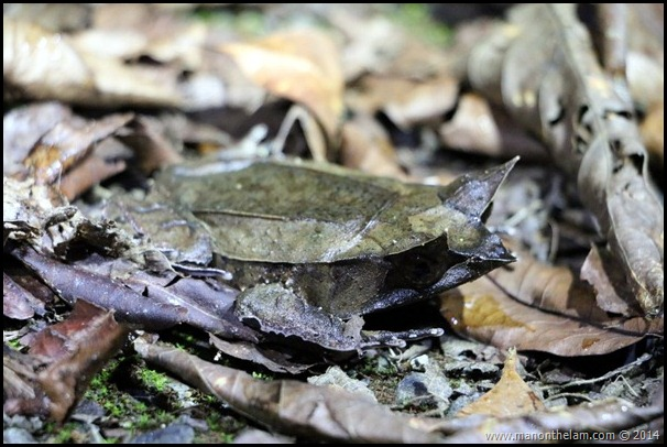 Bornean Horned Toad, International Bornean Frog Race,, Sarawak, Borneo, Malaysia