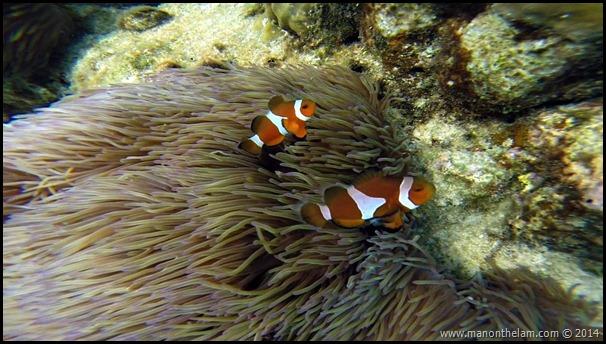 Clown fish, Pulau Redang, Malaysia